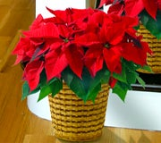 Top 10 Poinsettia Facts