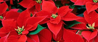 December Birth Flower