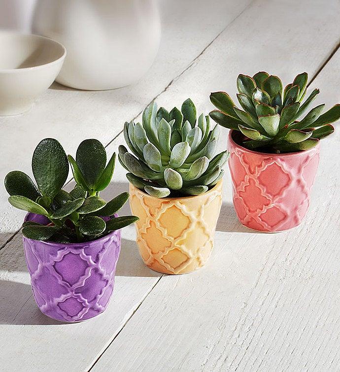Spring Succulent Trio