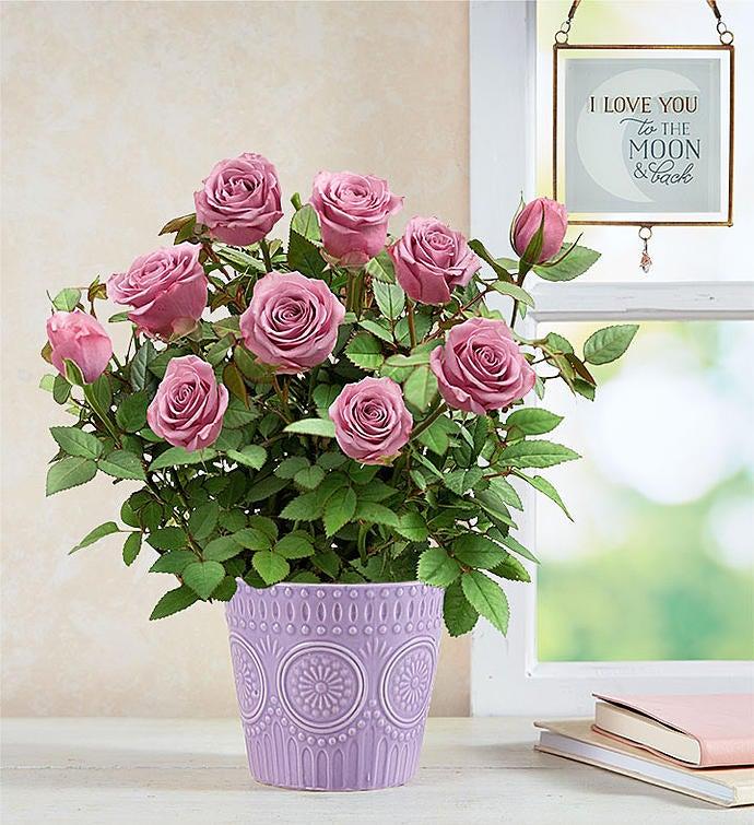 Lavish Lavender Rose Plant