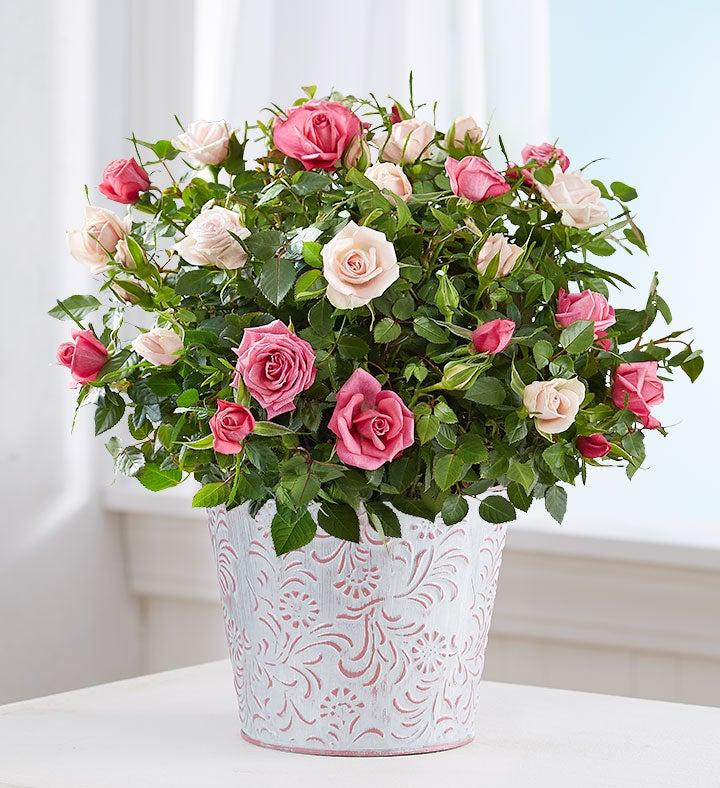 Summer Bi-Color Rose Garden