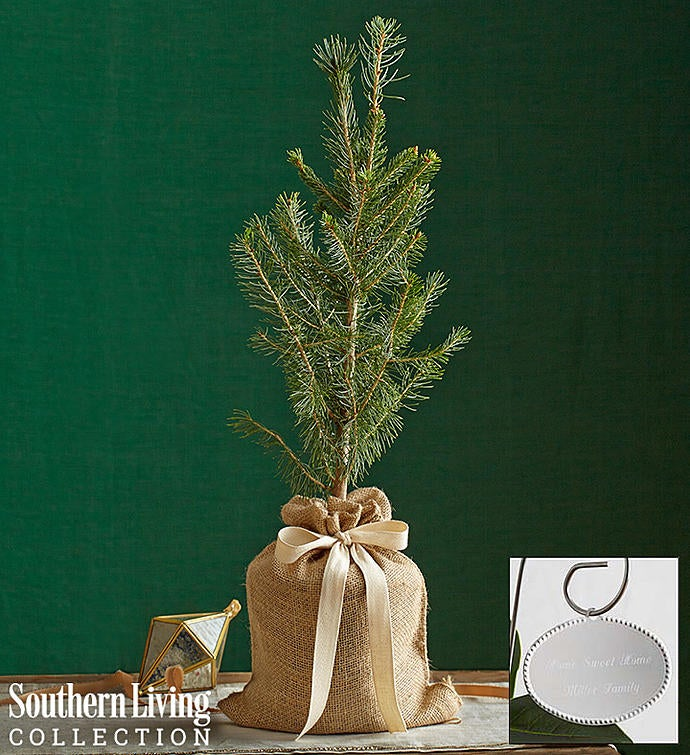 Colorado Blue Spruce Tree by Southern Living®