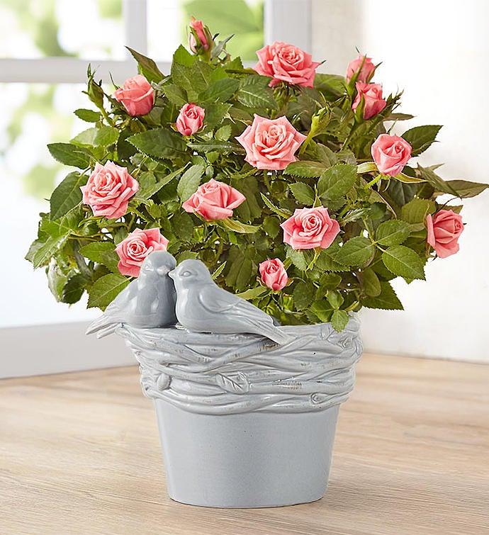Love Birds Pink Rose Plant