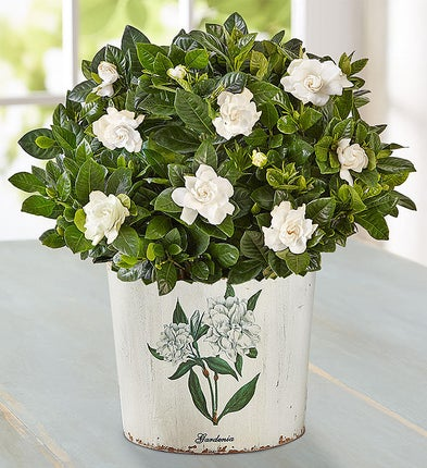 Graceful Gardenia Plant