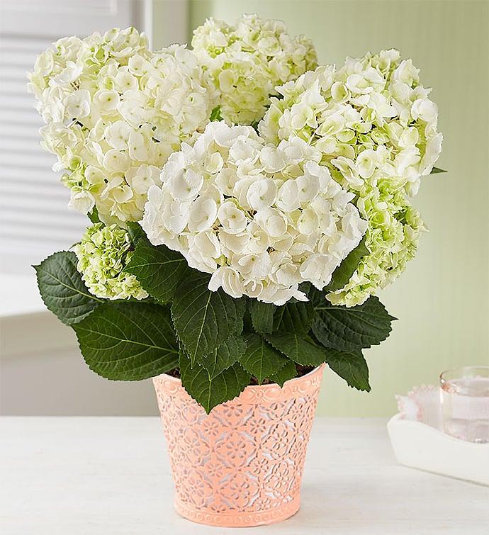 Sweet Blossoms Hydrangea