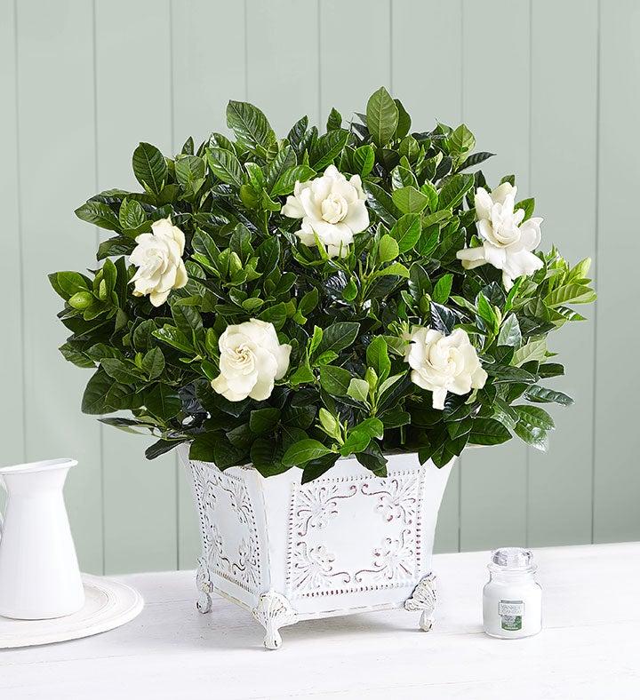 Grand Gardenia™ Plant