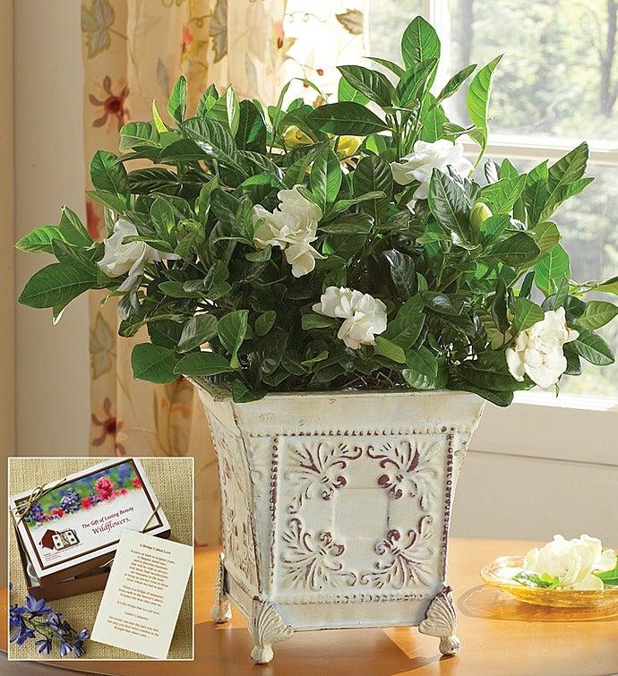 Grand Gardenia™ Plant for Sympathy